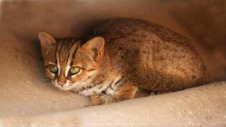 Small but significant: Counting India's elusive small cats