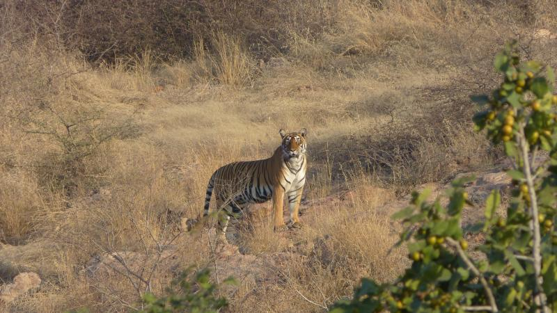 How accurate are India's tiger numbers?