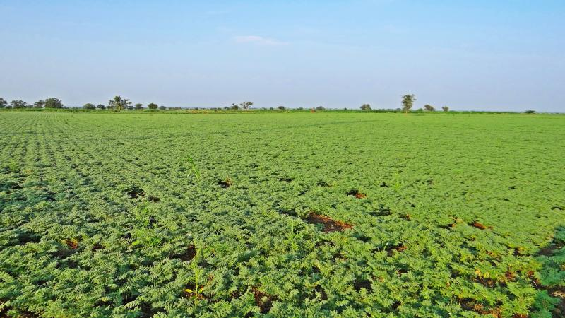 Local bacteria may outcompete introduced ones, affecting chickpea yield