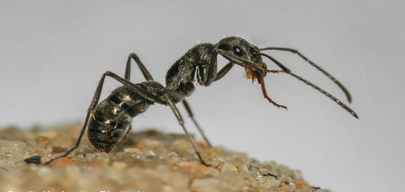For these ants, the road to their new nest is almost never long