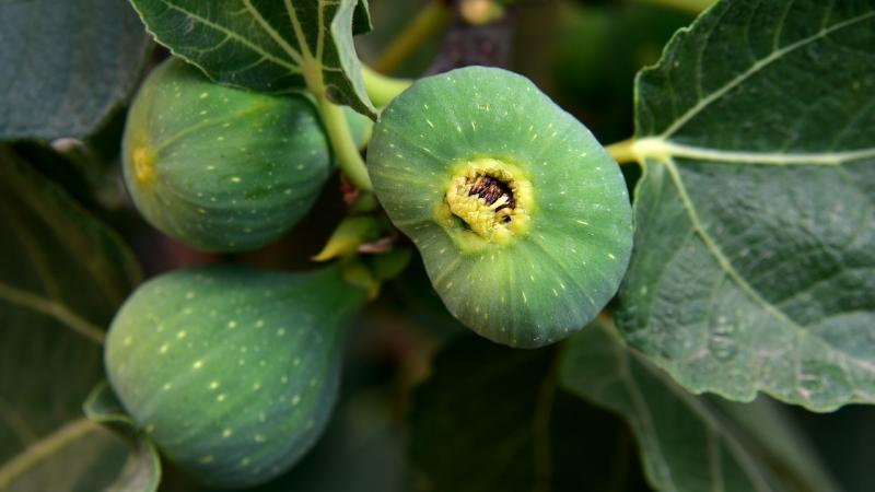How mighty are the fig wasps?