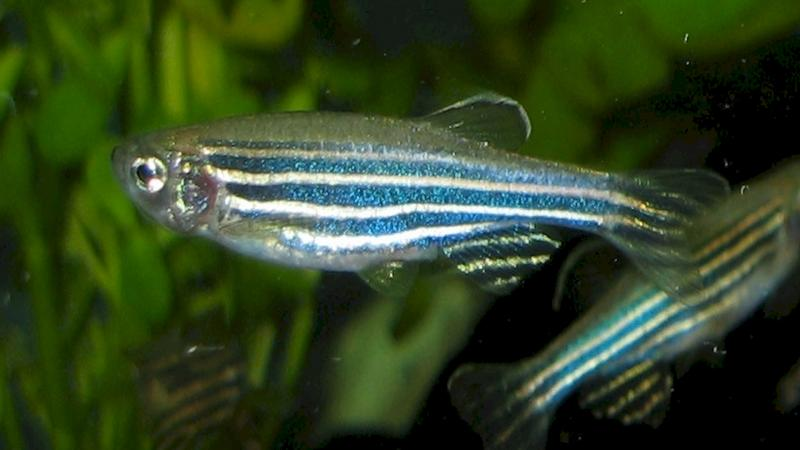 Study shows zebrafish use visual cues to find food in turbid water