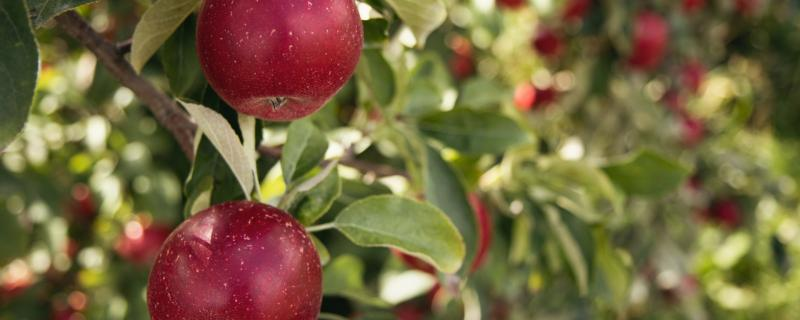 Climate change is driving apple orchards higher up in the Himalayas, and geoengineering could be a stopgap