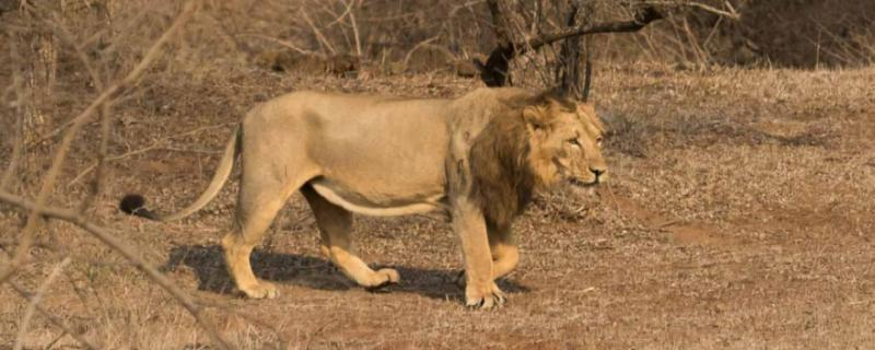 Genetic diversity in India's lions is dangerously low, and that's a big problem