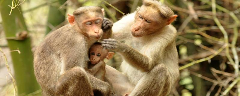 Study finds monkeys use gestures to communicate, just like apes.