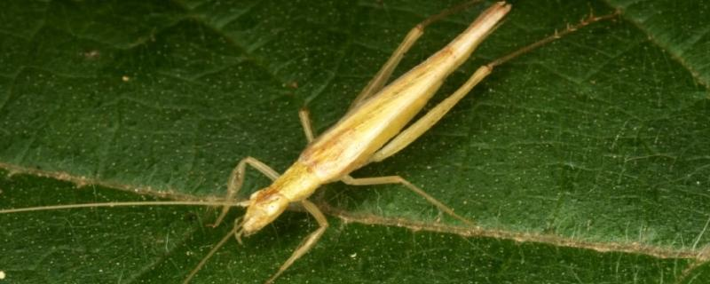 Sex without getting caught: Interactions between tree crickets and their predators