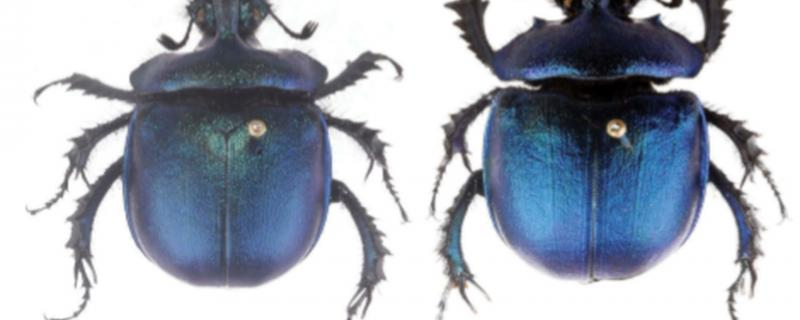 A newly found species of dung beetle from Arunachal Pradesh adds to India's biodiversity