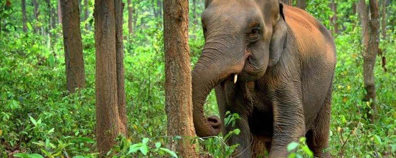 Jumbos in trouble: Asian elephants set to lose almost half of their present habitat, says study
