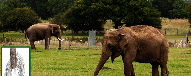 Elephant's tail tresses can tell their stress tales