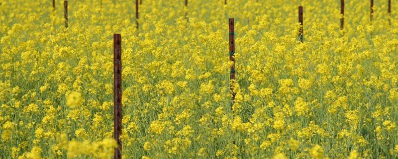 Tracing the footsteps of aphids to save India's mustard crops