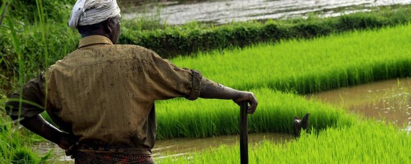 Study shows that climate impacts from rice cultivation are large but can be reduced drastically
