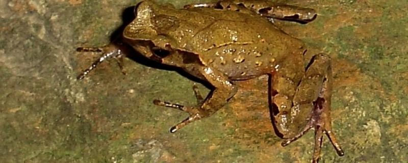 Three new species of horned frogs discovered from the forests of Northeast India