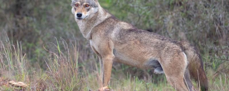 Suitable habitats of Indian Grey Wolves in eastern India lie outside protected areas, says study.
