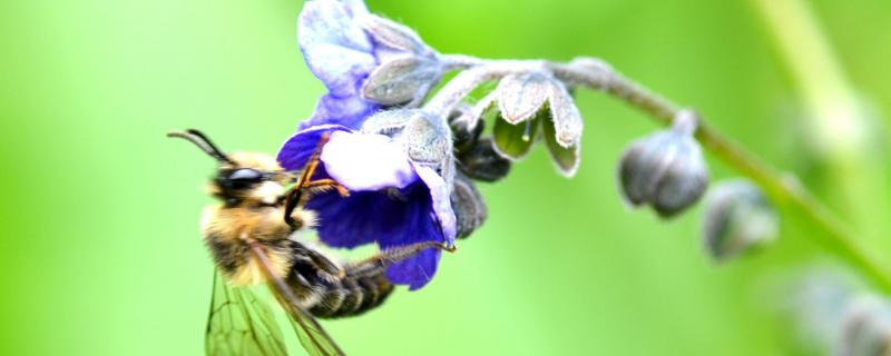 New species of bee Melitta indica discovered in Uttarakhand, India