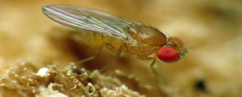 Studying fruit flies: A sneak peek into their lives in the lab