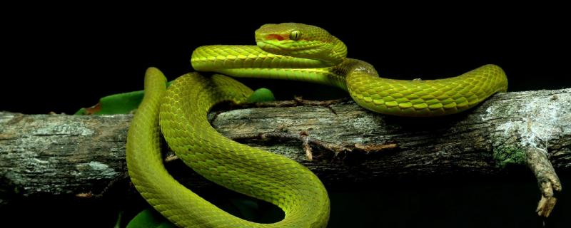 Meet Salazar's pit viper – a new snake species named after the parseltongue wizard