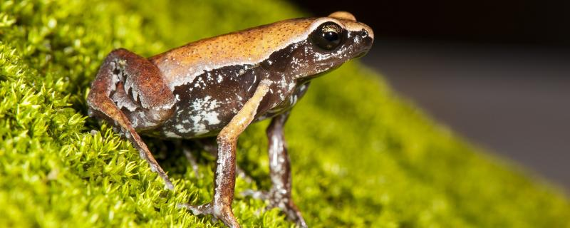New secretive frog species discovered in a roadside puddle in Southern India | SD Biju