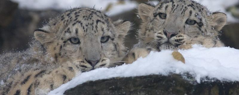 Study shows how science and society can save snow leopards