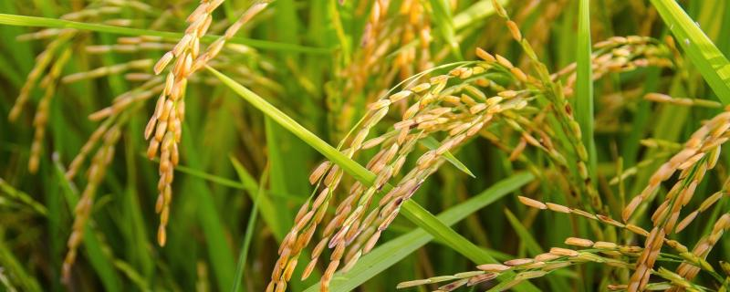 Researchers design salt-tolerant varieties of Indian rice