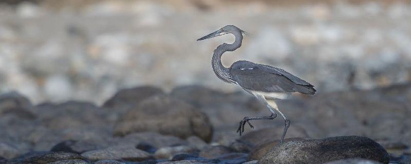 First-ever survey of white-bellied herons spells doom for these birds